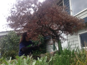 Johnny trimming a Japanese maple tree